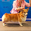 Welsh corgi pembroke ALFAWISH HOLIDAY