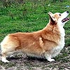 welsh corgi pembroke ANDVOL PERCHIK CHILLI. Maximize