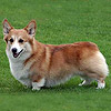 welsh corgi pembroke FOXFIRE RED RUFFIAN AT PEMLAND