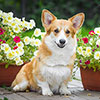 Welsh corgi pembroke GINGER ELF ANAIS