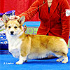 welsh corgi pembroke HAYWIRE'S DON'T SAY A WORD