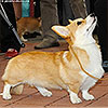 Welsh corgi pembroke HILLBERRY ROYAL AFFAIR