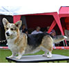 Welsh corgi pembroke KINSALE MIDNIGHT MAGIC