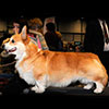 Welsh corgi pembroke KINSALE STAR TREAT
