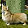 Welsh corgi pembroke RYSLIP MOLLY MALONE AT CRAIGYCOR