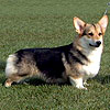 Welsh corgi pembroke SHAVALS FIRE VISION AT CRAIGYCOR