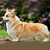 welsh corgi pembroke WELSH KING LET THEM WISH ME.