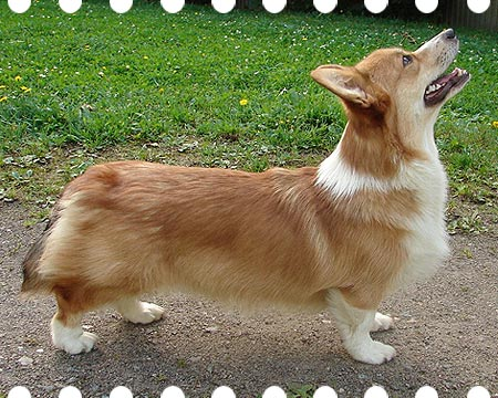 welsh corgi pembroke Haywire's You Will Know
