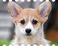 Welsh corgi pembroke puppy Alfawish FIELD OF DREAMS