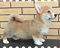 Welsh corgi pembroke puppy Alfawish CHURCHILL WINSTON