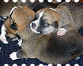 Welsh corgi pembroke puppies in Alfawish Kennel Moscow Russia