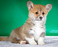 Welsh corgi pembroke puppy Alfawish ALLISEN