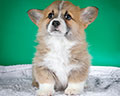 Welsh corgi pembroke puppy Alfawish ANGEL ANDY