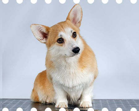 Welsh corgi pembroke Alfawish NIGHTINGALE SONG
