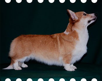 welsh corgi pembroke Alfawish Dolly Lisa-Krasa