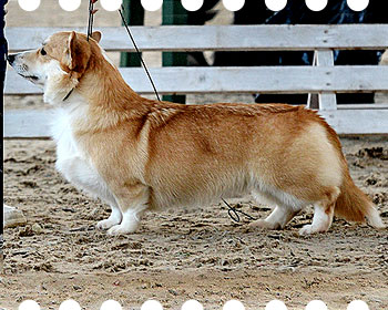 welsh corgi pembroke Ginger Elf YASMIN