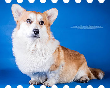 Welsh corgi pembroke Craygicor BEAR WITH