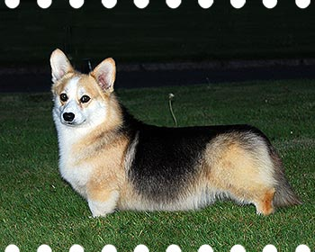 Welsh corgi pembroke Craigycor Private Dancer At Corrogs