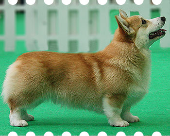 welsh corgi pembroke Laif Spring King Of My Heart