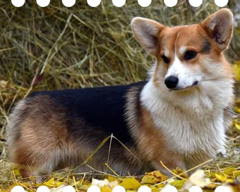 Welsh corgi pembroke Pemcader HIGH FLYER