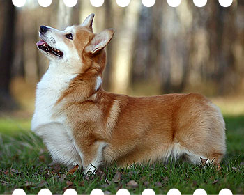 welsh corgi pembroke Whitepoint Orlando Bloom