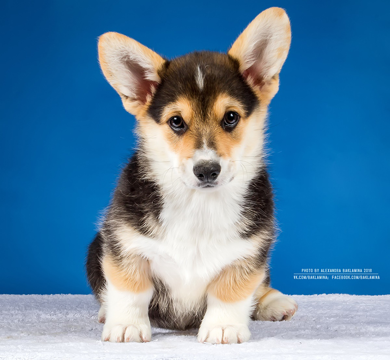 Welsh corgi pembroke puppy Alfawish EARL GREY, tricolor male