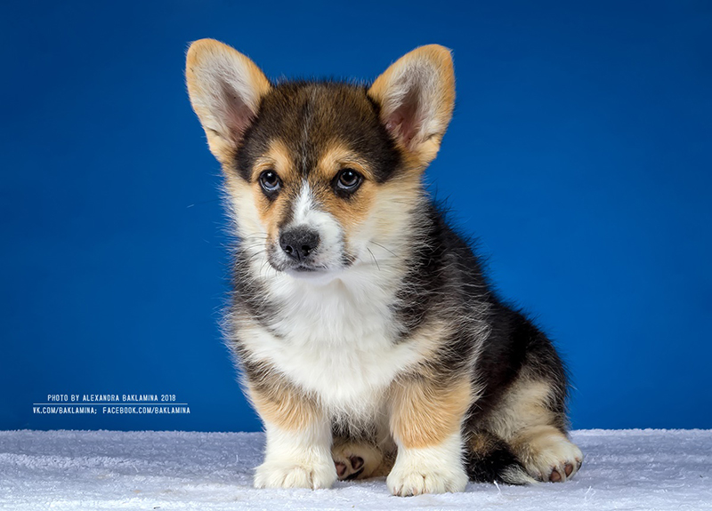 Welsh corgi pembroke puppy Alfawish EDINBURGH