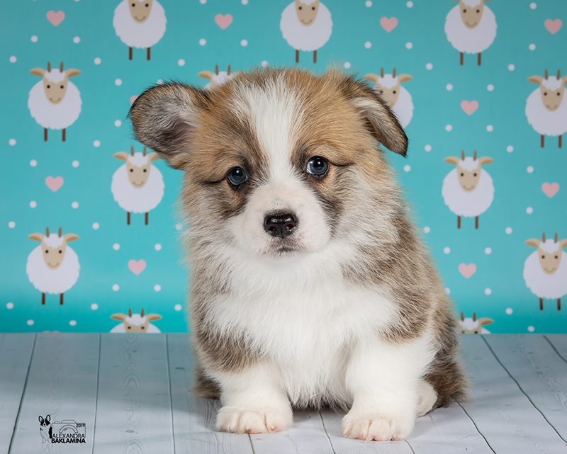 Welsh corgi pembroke puppy Alfawish IRIS, red & white female