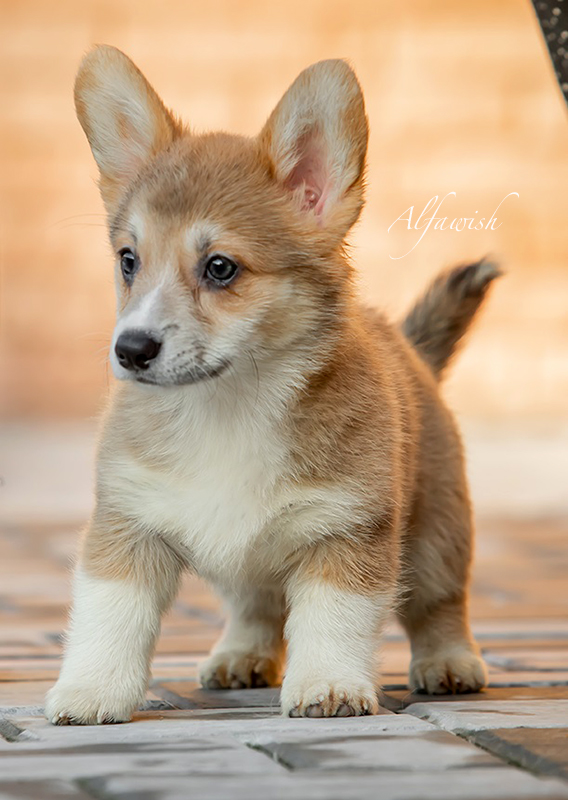 Welsh corgi pembroke puppies, Alfawish kennel, litter L