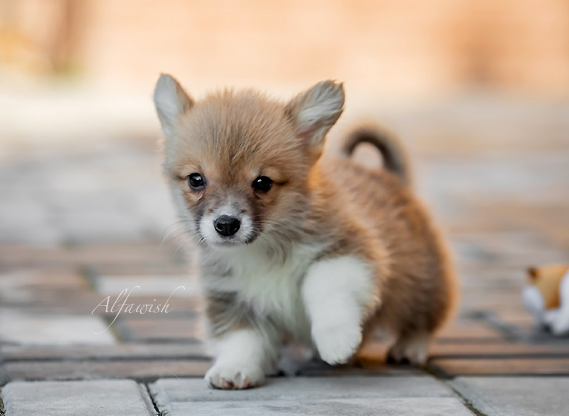 Welsh corgi pembroke puppy litter M