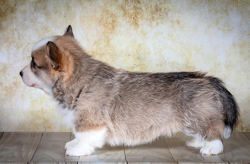 Welsh corgi pembroke puppy Alfawish ZORABELL, red & white female