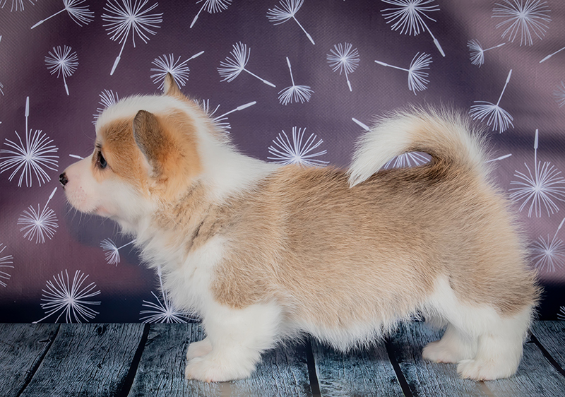 Welsh corgi pembroke puppy Alfawish ZOSHA, red & white female